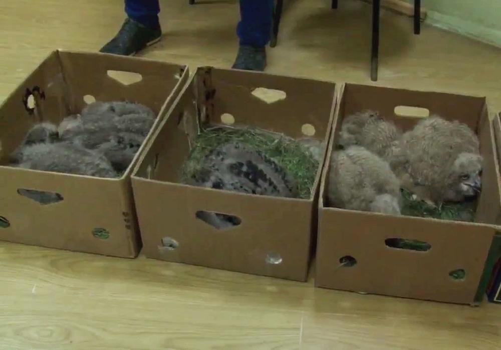 Волгодонец тайком перевозил в коробках краснокнижных филинов и орланов