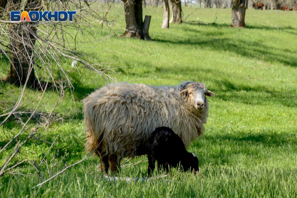 Под Зимовниками задержали 76 овец без документов
