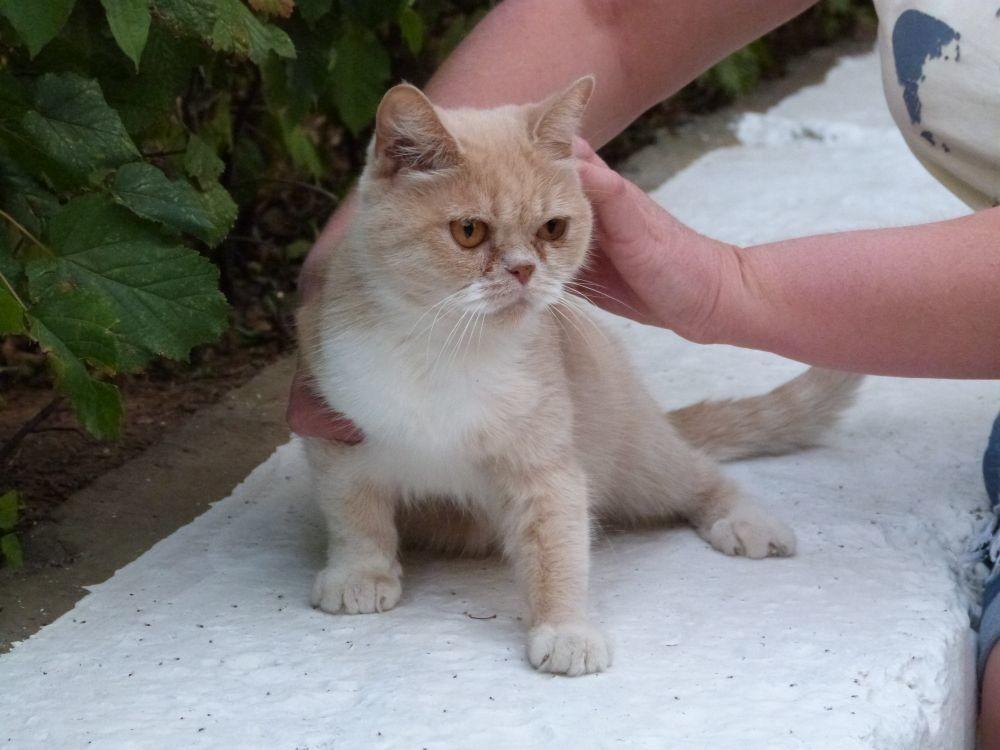 Пережившая предательство людей кошка экзотической породы нуждается в любви