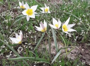 Через несколько дней начнется сезон цветения знаменитых тюльпанных полей у Маныча