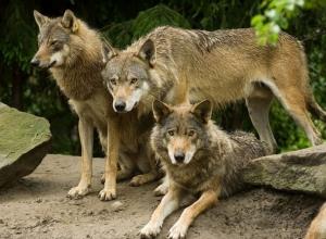 Как и 40 лет назад волки продолжают обитать и кормиться в Волгодонском районе