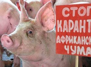 Очаг чумы свиней обнаружен в 150 километрах от Волгодонска