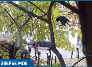 Волгодонцам предлагают приютить ворона с сломанным крылом