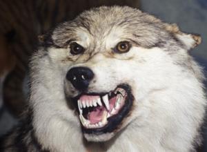 Под Волгодонском мужчина голыми руками задушил бешеного волка, напавшего на его пса