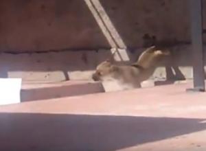 Душераздирающие кадры метаний щенка на балконе «волгодонского живодера» попали в сеть