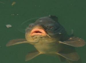 В Цимлянском водохранилище осталось мало рыбы