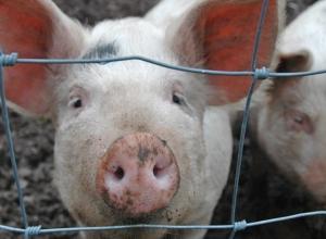В Морозовском районе снят карантин из-за Африканской чумы свиней