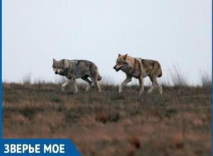 В заказнике «Цимлянский» бросили силы на восполнение популяции волков