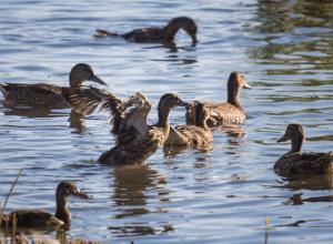 Заботливая мама и любимая добыча охотников: утка-кряква доминирует на Дону и Цимлянском водохранилище