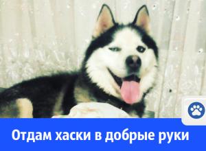 В Волгодонске собаку-хаски отдают в добрые руки