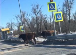 Коровы на трассе Цимлянск-Волгодонск показали пешеходам как правильно переходить дорогу