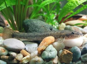 В Цимлянском водохранилище обнаружили тощую рыбку с усиками, которую нельзя трогать