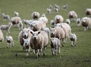 Около тысячи нелегальных овец попали под карантин в Волгодонском районе