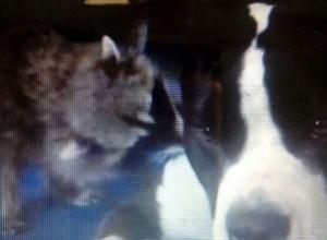 Любовь с первого взгляда: знакомство енота и амстаффа попало на видео