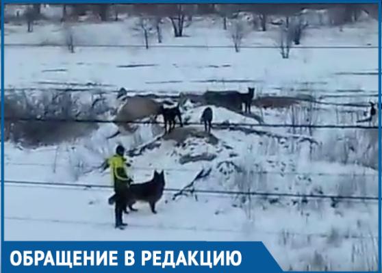 Свора безнадзорных собак бросается на людей и проезжающие автомобили, - волгодонец
