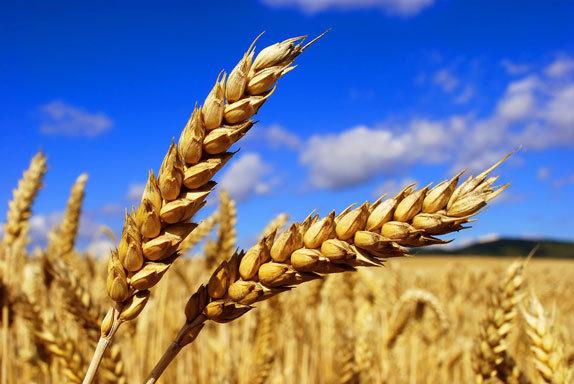 Из Волгодонска в Кению отправлена первая партия пшеницы