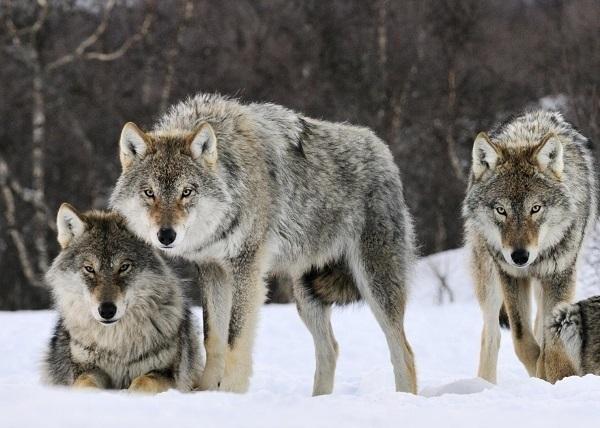 На окраине Волгодонска на свет автомобиля выбежали трое волков