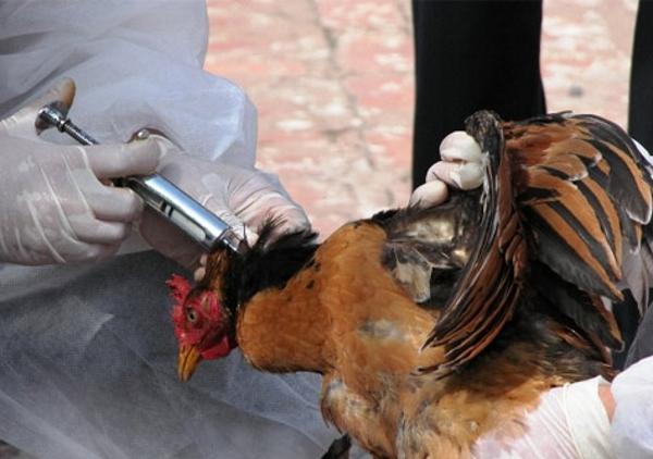 Волгодонских куриц привьют за один рубль, а козлов за пятьдесят