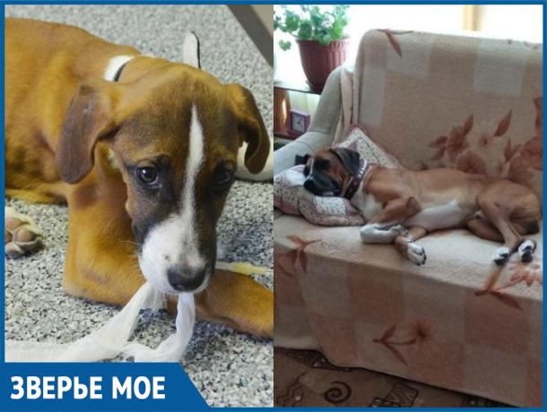 За три года из брошенного и истощенного щенка добрые волгодонцы вырастили упитанного пса