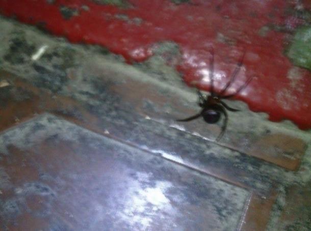 Агрессивный паучок: в новой части Волгодонска обнаружили еще одного каракурта