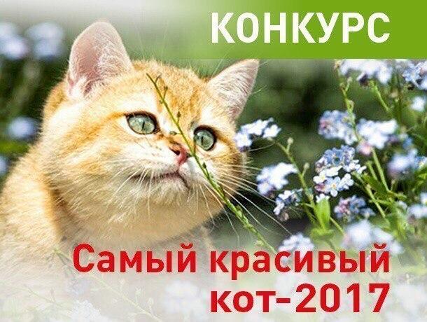 Внимание! Стартовало голосование в конкурсе «Самый красивый кот-2017»