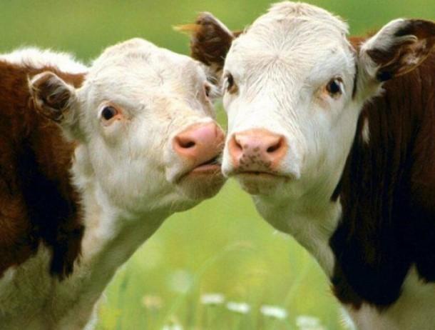 «Ящур угрожает»: волгодонцам советуют провести вакцинацию крупного рогатого скота