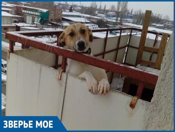 Волгодонцы не нашли псу места в однокомнатной квартире и поселили его на балконе
