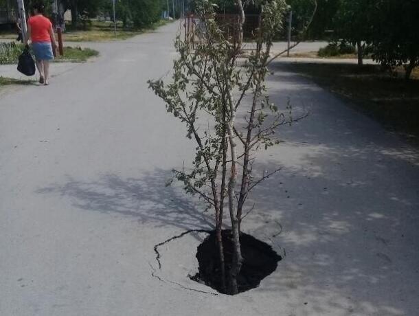 Торчащее из асфальта дерево предупреждает автомобилистов Волгодонска об опасности