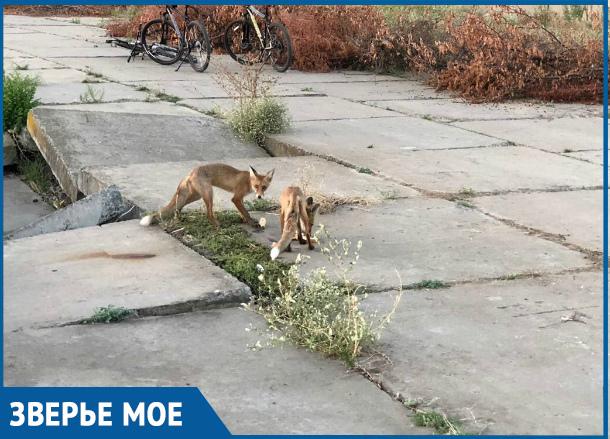 Вышедшие к людям голодные лисы в Волгодонске попали на видео