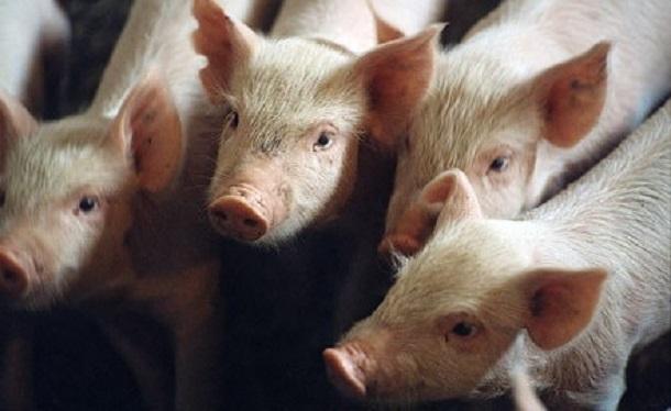 В Волгодонском районе отменен карантин по африканской чуме свиней