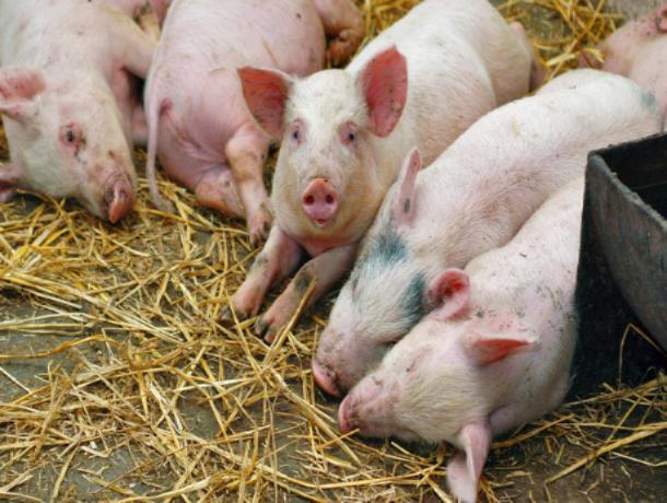 Очаги африканской чумы свиней окружают Хабаровск
