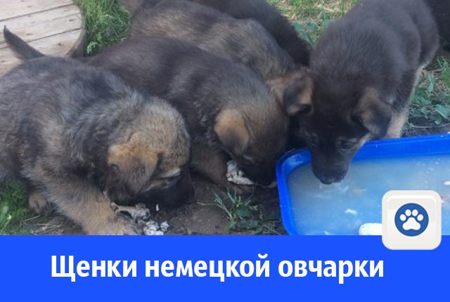 Щенков немецкой овчарки продают в Волгодонске