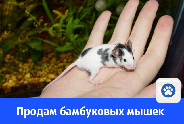 В Волгодонске за 50 рублей продают ручных бамбуковых мышек