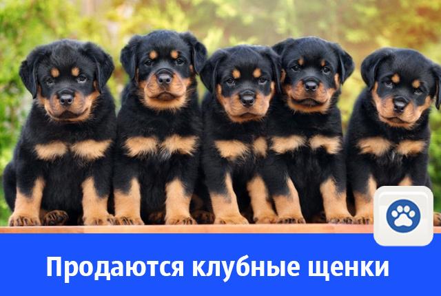 Продаются клубные щенки ротвейлера от хороших родителей