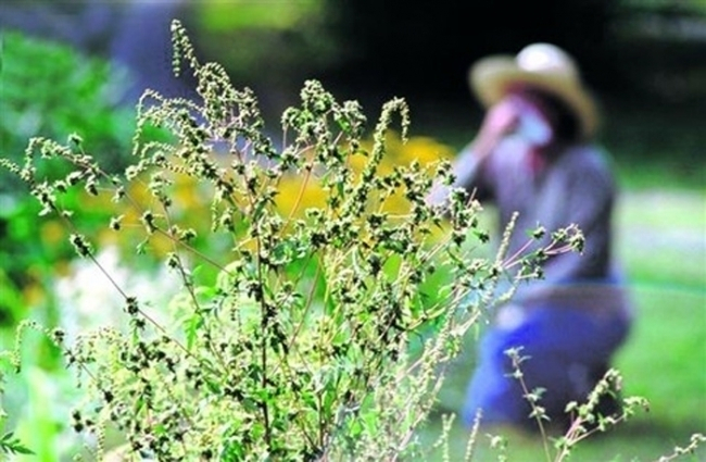 Амброзия в Волгодонске цветет, пахнет и продолжает раздражать аллергиков