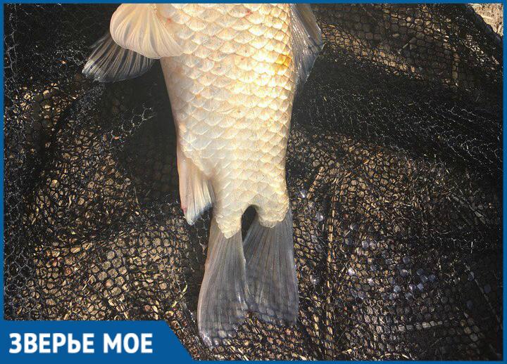 Волгодонец выловил рыбу с двумя хвостами из оросительного канала