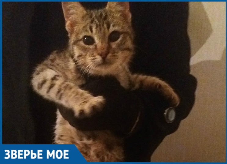 Подброшенный в магазин «Пятерочка» котенок редкой породы хочет встретить Новый год в кругу семьи