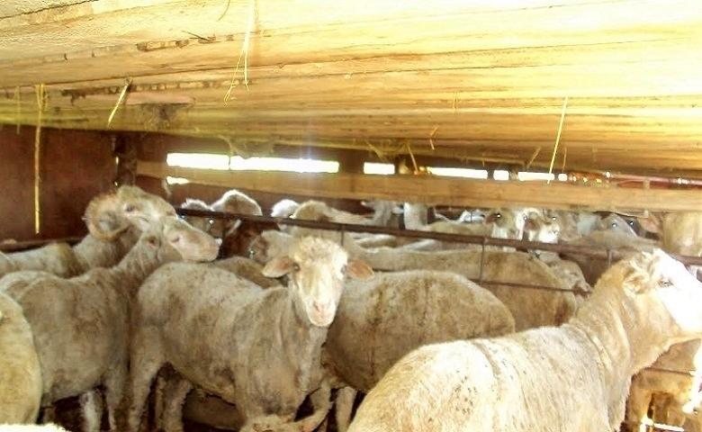 В Ремонтненском районе поймали контрабандных овечек