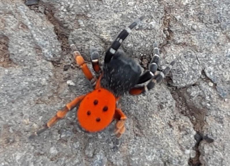 Необычный паук «божья коровка» привлек внимание волгодонцев в районе «Поля дураков»