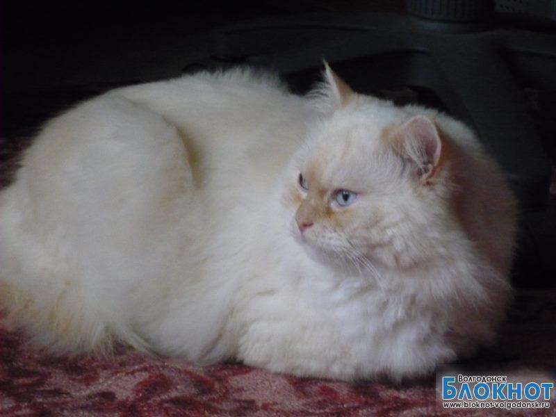 Пушок - 54-й участник конкурса «Самый красивый кот Волгодонска»