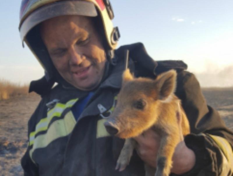 Спасенных из пожара диких поросят передали в Цимлянский питомник