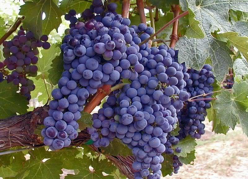 В Цимлянском районе с виноградника украли более 60 килограммов винограда элитного сорта