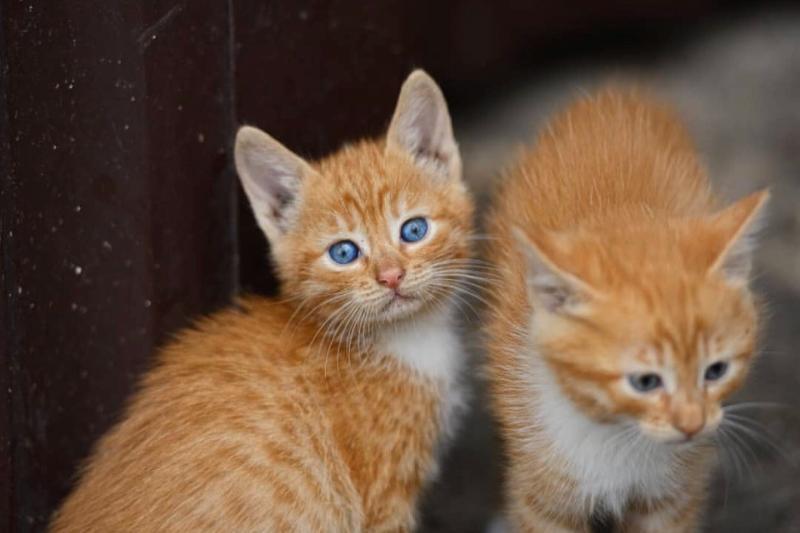Приносящим в дом счастье рыжим котятам ищут дом в Волгодонске