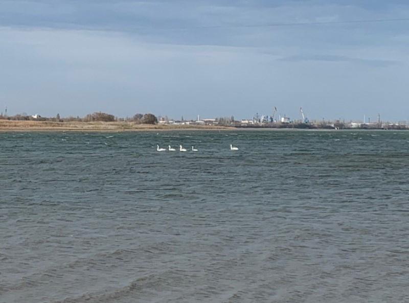 Две стаи лебедей прилетели в Волгодонск на зимовку