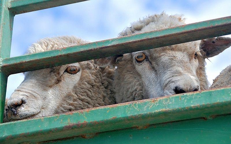 60 нелегальных овец из Дубовского района задержали на въезде в Зимовники