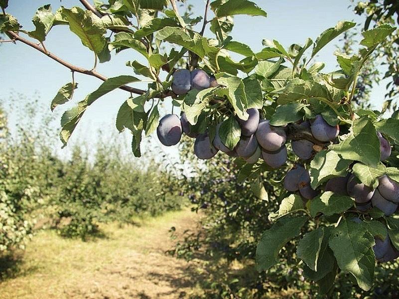 В Цимлянске будут выращивать импортозамещающие сливы