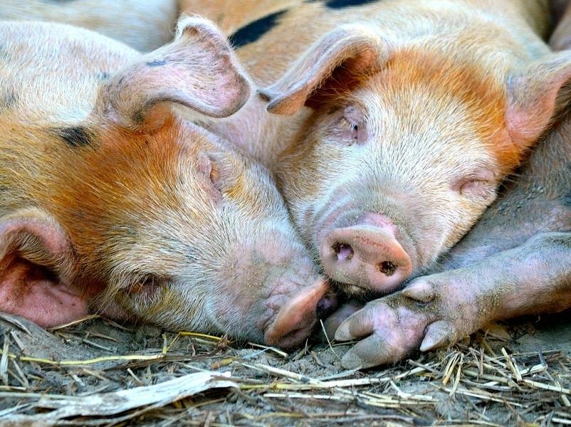 Свиноводы Константиновска получат компенсацию за убитых животных
