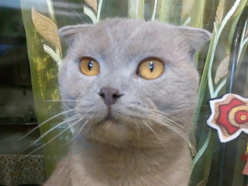 Найденный возле оросительного канала шотландский вислоухий кот ищет хозяев