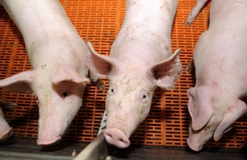 Вспышку африканской чумы свиней зарегистрировали вРостовской области