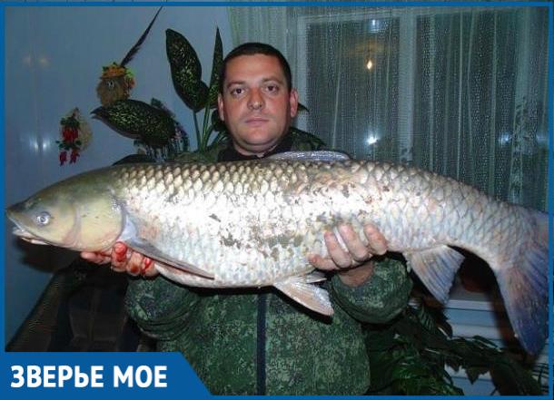 15-килограммового белого амура вытащил из Цимлы рыбак